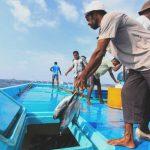 Nachhaltige Fischerei: Gefangen werden Echte Bonitos, auch Skipjacks genannt. Die Filets werden eingelegt auch nach Deutschland exportiert