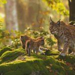 Zwei Babyluchse mit Muttertier