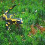 Heimische Tiere – Feuersalamander