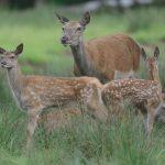 Heimische Tiere – Hirschkuh mir Kälbchen