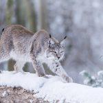 Heimische Tiere – Luchs im Winter