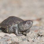 Frisch geschlüpfte Sumpfschildkröte