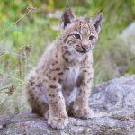 Heimische Tiere – Luchs Jungtier