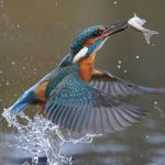 Heimische Tiere – Eisvogel mit Fisch