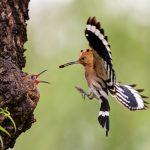 Wiedehopf füttert seine Jungen