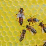 Heimische Tiere – Bienenkönigin