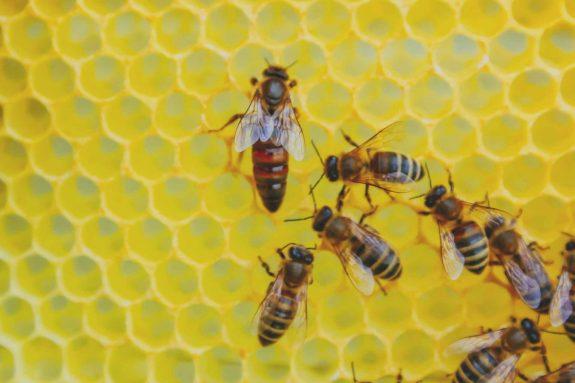 Die Bienenkönigin mit ihren Arbeiterbienen in der Wabe