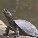 Heimische Tiere – Sumpfschildkröte