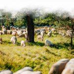Die Schafe auf der Weide