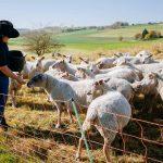 Schäferin Kerstin füttert die Schafe mit dem eigens angebauten Getreide