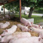 Schweine auf dem Hofglück-Schweinehof