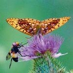 Schmetterling und Biene ernähren sich an einer Blüte