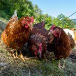 Die Hühner des Hühnerverleih