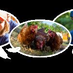 Hühner vermieten