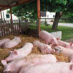 Schweine liegen im Offenstall im Stoh