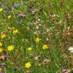 Eine große Heuwiese mit vielen heimischen Wildpflanzen