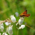 Viele Wildbienenarten haben es auf das Blüten- und Pollenangebot heimischer Wildpflanzen abgesehen