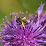 Eine Furchenbiene besucht die Blüte der Tauben-Skabiose