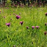 Knaeuelglockenblume auf einer großen Wiese