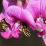 Ein Weibchen der Die Platterbsen-Mörtelbiene beim Blütenbesuch an einer Breitblättrigen Platterbse