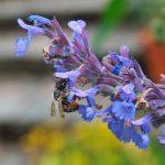 Eine Wildbiene beim Nektar sammeln an der Blüte der Natternkopf-Pflanze