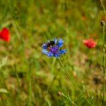 Wildbienen bei der Bestäubung einer Blüte