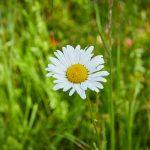 Eine Margerite auf der Blühwiese