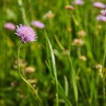 Acker-Witwenblume auf der Blühwiese